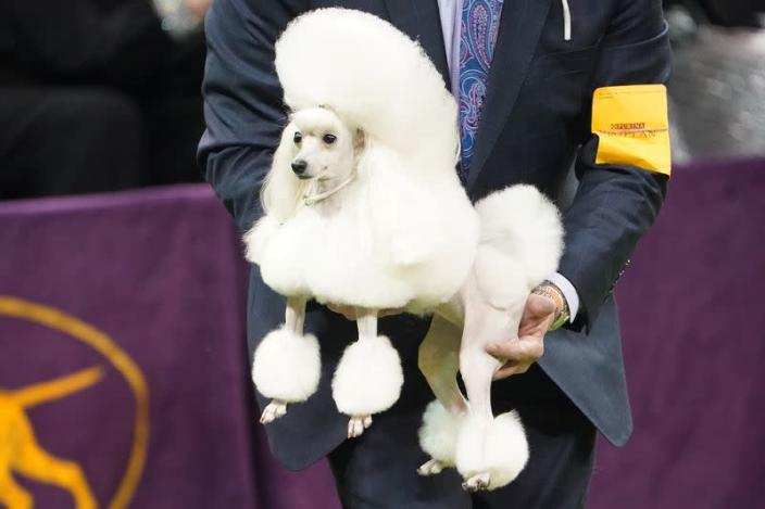 Siba, the Dowager Dog Who Won Westminster, Is My New Queen