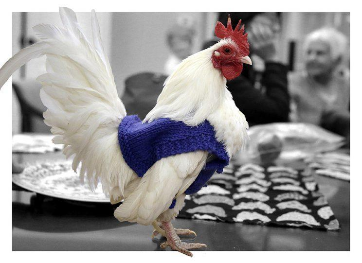 """Rooster """"Prince Peep"""" wears a sweater knitted by residents at Fuller Village retirement home in Milton, Mass. (Photo: AP/Steven Senne)"""