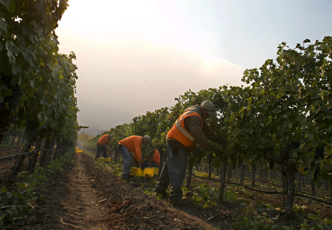 <p>Workers harvest a vineyard as smoke from a massive wildlife fills the air near Oakville, Calif ,Friday, Oct. 13, 2017. (Photo: Rich Pedroncelli/AP) </p>