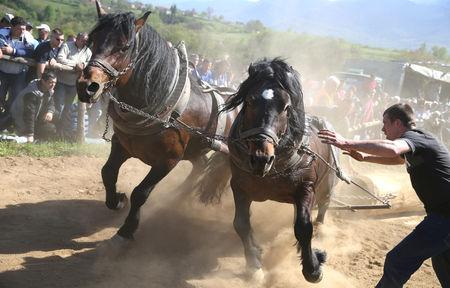 """A competitor pushes his horses during """"Straparijada"""", an event in which horses compete in strength hauling heavy logs, in Izacic, near Bihac, Bosnia and Herzegovina, April 20, 2019. REUTERS/Dado Ruvic"""