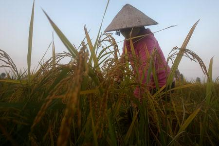 A farmer harvests rice on a rice paddy field outside Hanoi