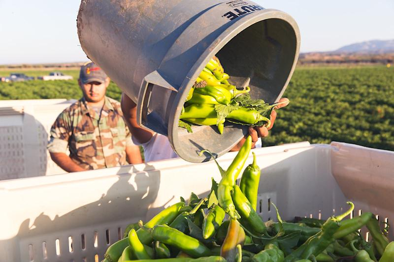 Hatch Chile Festival 2020.How Hatch Chile Season Became The Pumpkin Spice Of The Southwest