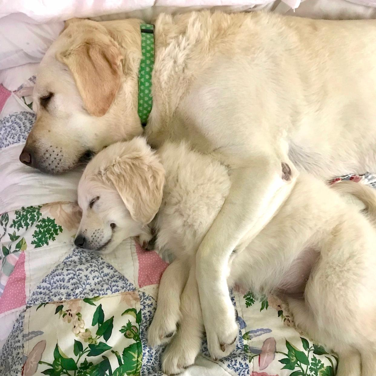 A service dogs cuddles a puppy in training.