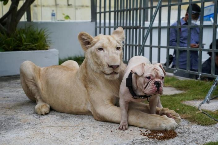 Confiscated pet lion reunited with owner in Cambodia