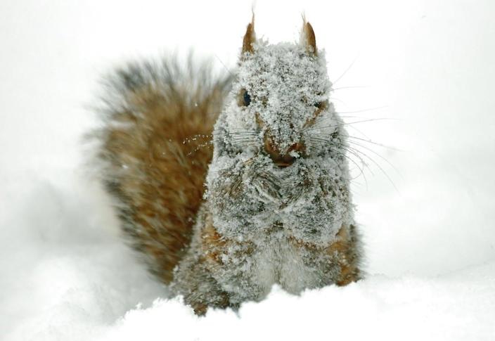 """<span class=""""caption"""">Yes, I am a bit chilly, why?</span> <span class=""""attribution""""><a class=""""link rapid-noclick-resp"""" href=""""https://www.shutterstock.com/image-photo/snow-covered-gray-squirrel-41186005"""" rel=""""nofollow noopener"""" target=""""_blank"""" data-ylk=""""slk:tim elliott/Shutterstock.com"""">tim elliott/Shutterstock.com</a></span>"""