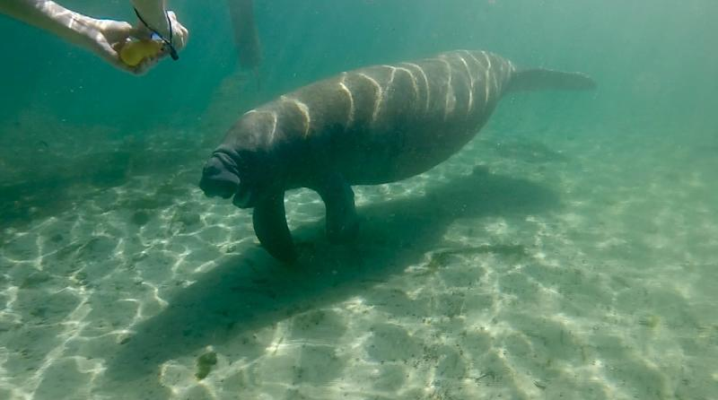 Manatees have experienced a dramatic turnaround and are no longer in imminent danger of extinction (AFP Photo/Kerry SHERIDAN)