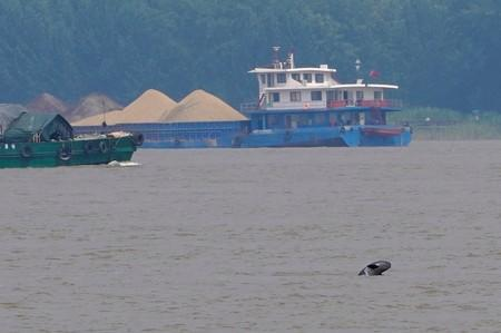 A porpoise is pictured at the Yangtze river near the city of Nanjing