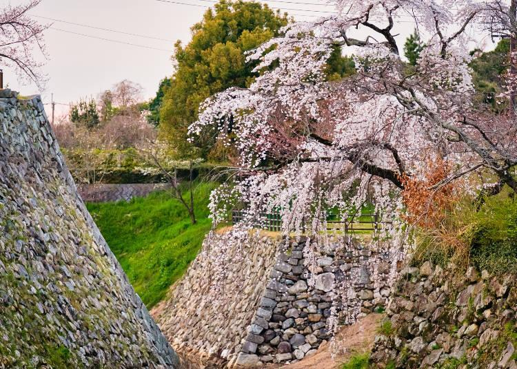 The wonderful synergy of stone walls and cherry blossoms