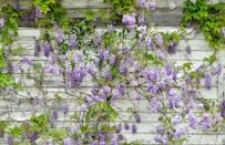 """<p>Flowering vines add color and texture to overlooked parts of <a href=""""https://www.countryliving.com/gardening/garden-ideas/g24882877/shade-perennials/"""" rel=""""nofollow noopener"""" target=""""_blank"""" data-ylk=""""slk:your garden"""" class=""""link rapid-noclick-resp"""">your garden</a> and provide privacy and screening. They can be <a href=""""https://www.countryliving.com/gardening/garden-ideas/g24789027/shade-annuals/"""" rel=""""nofollow noopener"""" target=""""_blank"""" data-ylk=""""slk:annual"""" class=""""link rapid-noclick-resp"""">annual</a>, or <a href=""""https://www.countryliving.com/gardening/garden-ideas/g24942296/full-sun-perennials/"""" rel=""""nofollow noopener"""" target=""""_blank"""" data-ylk=""""slk:perennial"""" class=""""link rapid-noclick-resp"""">perennial</a>, and there are vines for practically every USDA Hardiness Zone (<a href=""""https://planthardiness.ars.usda.gov/PHZMWeb/"""" rel=""""nofollow noopener"""" target=""""_blank"""" data-ylk=""""slk:find yours here"""" class=""""link rapid-noclick-resp"""">find yours here</a>). </p><p>When planting perennial vines, be patient: they take a few seasons to get established. Be aware of how much sun or shade your plant requires to thrive. And you'll want a trellis (which you <a href=""""https://www.countryliving.com/gardening/garden-ideas/g32852718/best-garden-trellis/"""" rel=""""nofollow noopener"""" target=""""_blank"""" data-ylk=""""slk:can buy"""" class=""""link rapid-noclick-resp"""">can buy</a> or <a href=""""https://www.countryliving.com/gardening/garden-ideas/g31025071/trellis-ideas/"""" rel=""""nofollow noopener"""" target=""""_blank"""" data-ylk=""""slk:build yourself"""" class=""""link rapid-noclick-resp"""">build yourself</a>), or other structure for the vines to climb. To get them started, just gently place their tiny, curling tendrils on the trellis, and they will do the rest. Pro tip: install the trellis when planting so you don't disturb the roots later. </p>"""