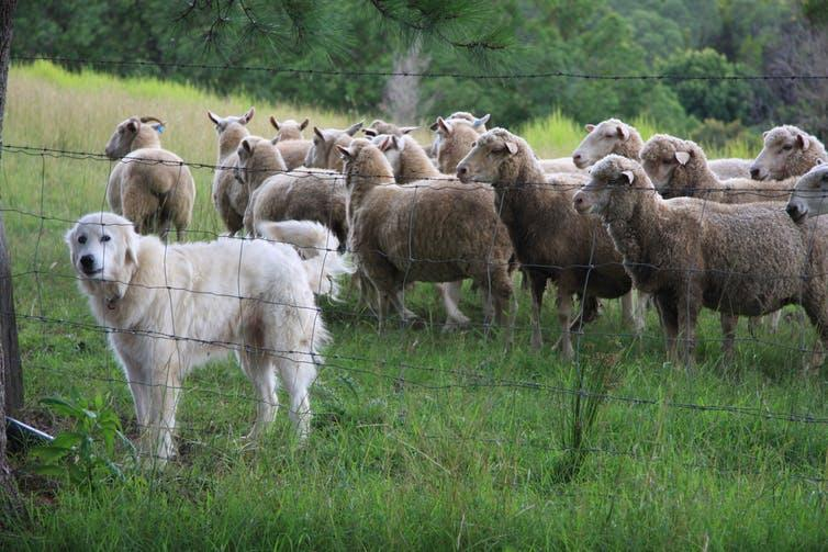 A fluffy, white sheepdog stands before a flock of sheep.