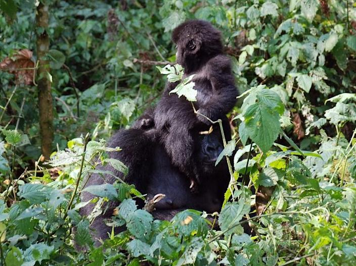 Haven: The Virunga National Park is one of the last redoubts of the mountain gorilla