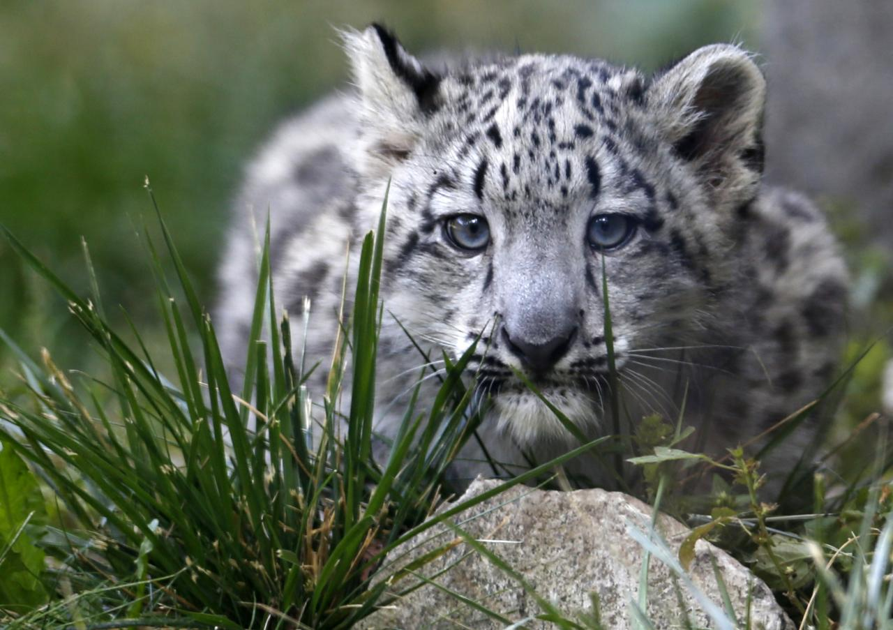 A three month old snow leopard cub is seen at the Brookfield Zoo in Brookfield, Illinois, September 18, 2013. REUTERS/Jim Young (UNITED STATES - Tags: ANIMALS)