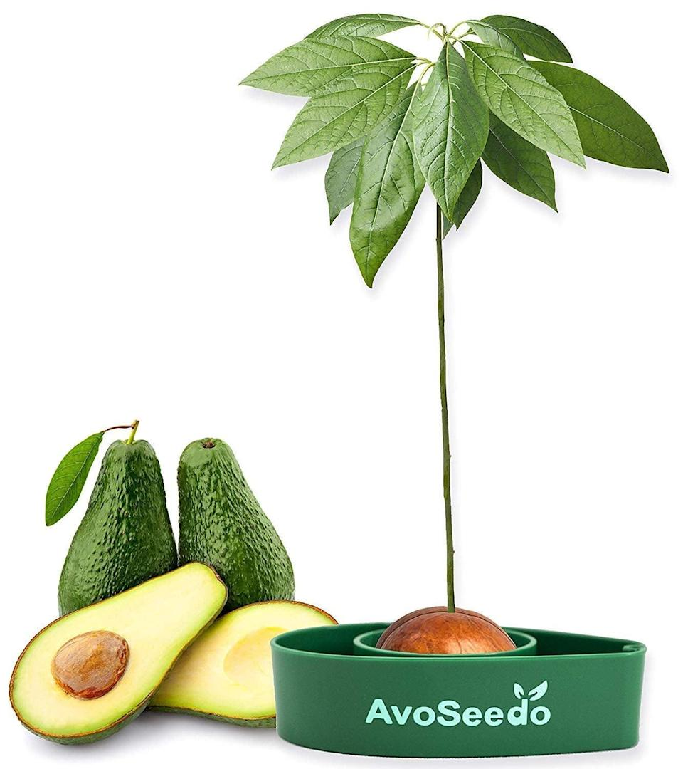 <p>The man who's obsessed with avocados can now have fresh produce all the time with this <span>Avoseedo Avocado Tree Growing Kit</span> ($11).</p>