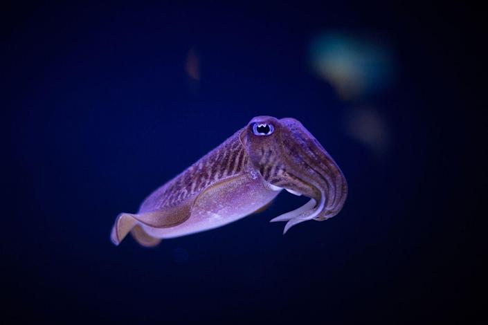 <p>This baby creature is part of the squid family but looks like a miniature version of the legendary Kraken monster.</p>