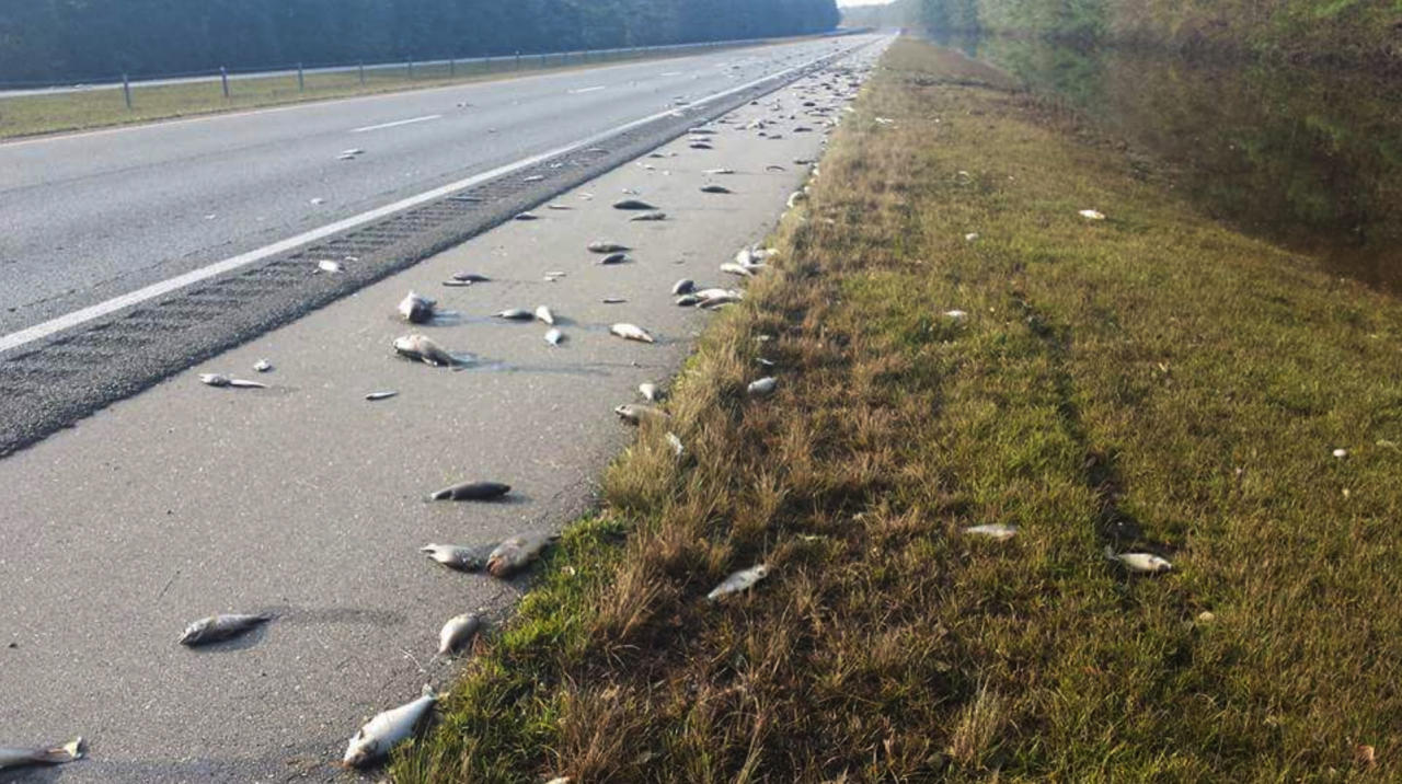 This Saturday, Sept. 22, 2018, photo provided by the North Carolina Department of Transportation shows fish left on Interstate 40 in Pender County in eastern North Carolina after floodwaters receded. Thousands of coastal residents remained on edge Sunday, told they may need to leave their homes because rivers are still rising more than a week after Hurricane Florence slammed into the Carolinas. (Jeff Garrett/N.C. Department of Transportation via AP)