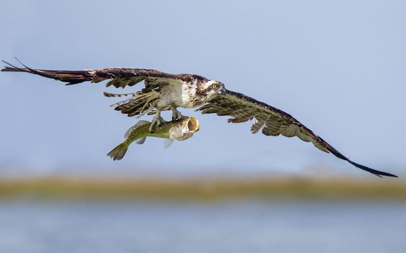 Social media trolls sent the Dyfi Osprey Project, a small charity based in Wales, a stream of vitriolic messages accusing it of cruelty for not helping the struggling baby birds - Supplied by WENN.com