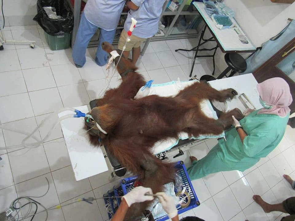 "Veterinarians carry out examinations on a critical orangutan named ""Hope"" after she was rescued from Subulussalam city – Aceh Province."