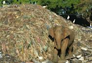 Some wild elephants have become accustomed to scavanging in rubbish dumps instead of foraging in the jungle