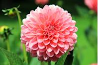 """<p>There are 42 species of Dahlias and many glorious colours to choose from. New varieties are being bred and grown all the time.</p><p><a class=""""link rapid-noclick-resp"""" href=""""https://go.redirectingat.com?id=127X1599956&url=https%3A%2F%2Fwww.flowerbx.com%2Fflowers%2Fdahlia%2Fmother-of-pearl-dahlia&sref=https%3A%2F%2Fwww.housebeautiful.com%2Fuk%2Fgarden%2Fplants%2Fg22113752%2Fjuly-flowers-seasonal-bloom%2F"""" rel=""""nofollow noopener"""" target=""""_blank"""" data-ylk=""""slk:BUY NOW"""">BUY NOW</a></p>"""
