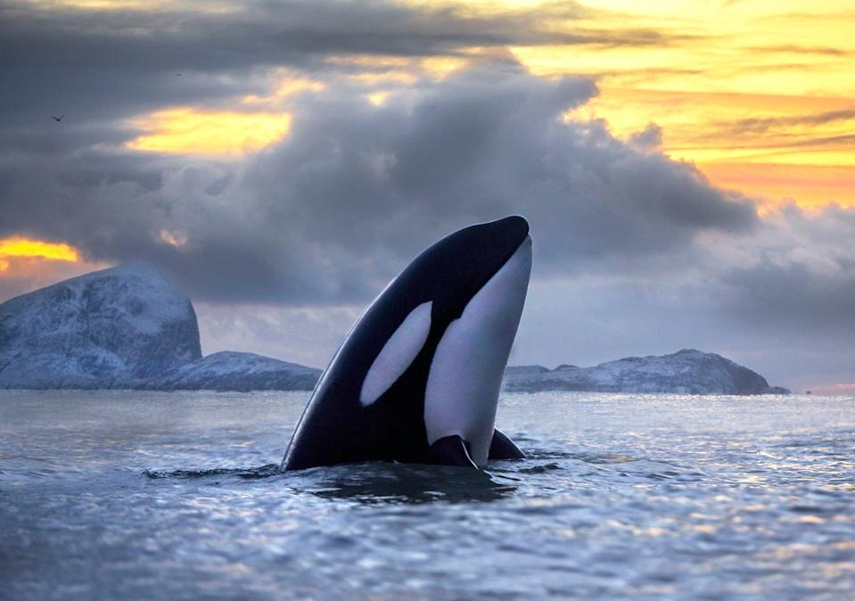 Killer whales could be protected by the Ivory Act (Audun Rikardsen/PA Media) (PA Media)