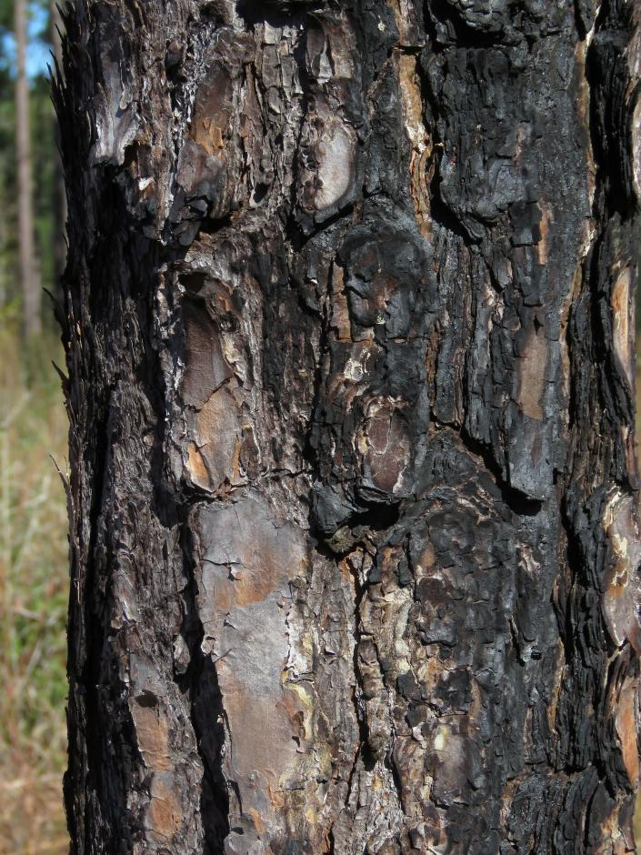 Charred bark on a 20-year-old, 8-inch diameter longleaf pine in the DeSoto National Forest in Miss., on Wednesday, Nov. 18, 2020, shows where a fire swept by, protecting grasses and wildflowers that otherwise would be robbed of sunlight by shrubs and shorter trees. An intensive effort in nine coastal states from Virginia to Texas is bringing back longleaf pines -- armor-plated trees that bear footlong needles and need regular fires to spark their seedlings' growth and to support wildly diverse grasslands that include carnivorous plants and harbor burrowing tortoises. (AP Photo/Janet McConnaughey)