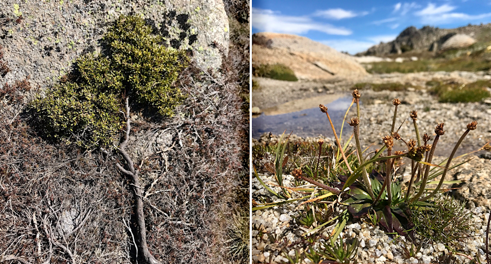 While the alpine grevillea (left) has not adapted to climate change star plantain (right) did. Source: Casey Kirchhoff/iNaturalist, CC BY-NC