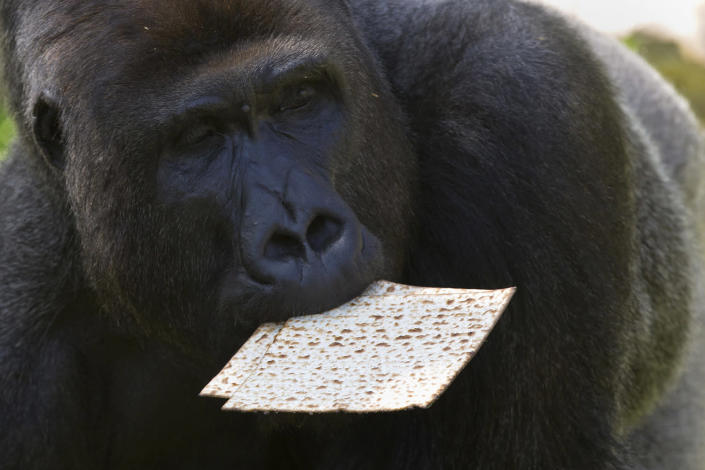 <p>A gorilla eats matzo, a traditional handmade unleavened bread for Passover, at the Ramat Gan Safari, near Tel Aviv, Israel, April 6, 2017. Gorillas and other animals are usually fed bread, but since the zookeepers and handlers cannot touch any leavened products during the week-long holiday of Passover, that marks the biblical Jewish exodus from Egypt, they are given matzah. (Photo: Sebastian Scheiner/AP) </p>