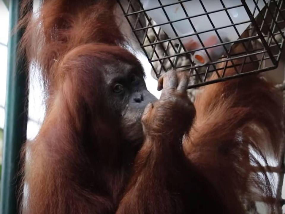 Toronto Zoo has introduced a mandatory vaccine policy for guests to protect staff, guests and animals from COVID-19. Some animals, such as orangutans, are susceptible to the virus. (Toronto Zoo - image credit)