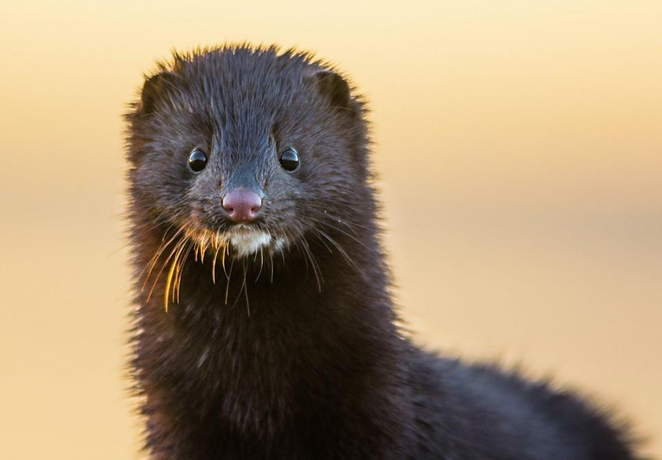 """<span class=""""caption"""">Mink can be readily infected with SARS-CoV-2 and then pass the virus to humans. </span> <span class=""""attribution""""><span class=""""source"""">(Shutterstock)</span></span>"""