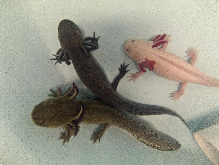 A group of axolotls pictured in a laboratory at the Autonomous University of Mexico in Mexico City, on August 29, 2014. Wild axolotls are facing extinction
