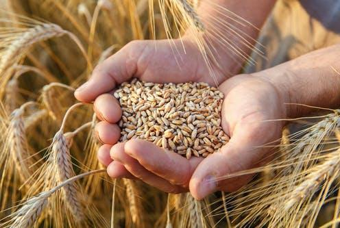 """<span class=""""caption"""">In many parts of the world, staple grains are a critical part of diets.</span> <span class=""""attribution""""><a class=""""link rapid-noclick-resp"""" href=""""https://www.shutterstock.com/image-photo/hands-farmer-close-holding-handful-wheat-488899324"""" rel=""""nofollow noopener"""" target=""""_blank"""" data-ylk=""""slk:Frolova_Elena/ Shutterstock"""">Frolova_Elena/ Shutterstock</a></span>"""