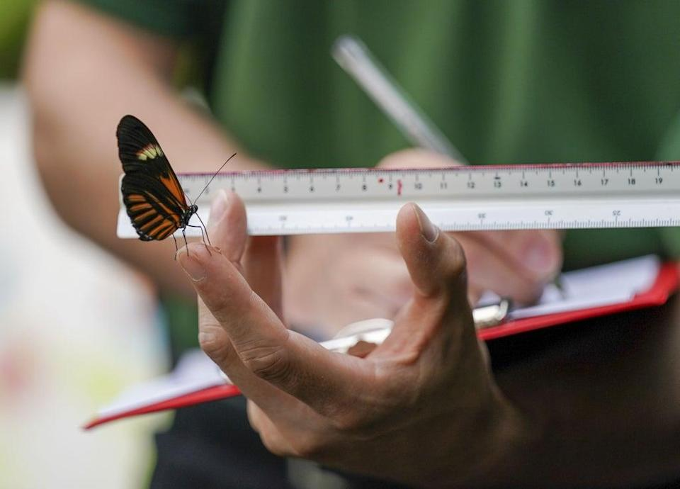 A zookeeper uses a ruler to measure a postman butterfly (Steve Parsons/PA) (PA Wire)