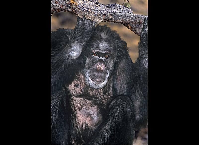 Booie, a chimpanzee that kicked a smoking habit and used sign language to beg for candy, died at the age of 44 at a California animal refuge in mid-December.