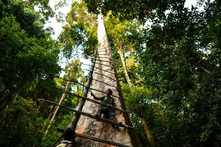 Traditional Malaysian honey hunter Zaini Abdul Hamid fixes a ladder to harvest bee nests atop a giant tree in northern Malaysia