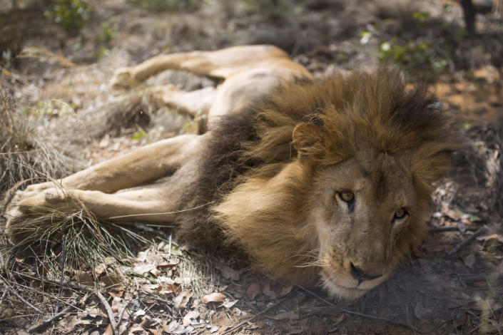 <p>One of the 33 lions enjoys his new enclosure at the Emoya Big Cat Sanctuary on May 1, 2016, in Vaalwater, South Africa.<i> (Dan Kitwood/Getty Images)</i></p>