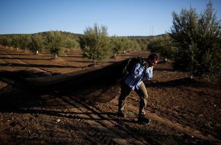 A worker harvests olives in an olive grove in Porcuna, southern Spain