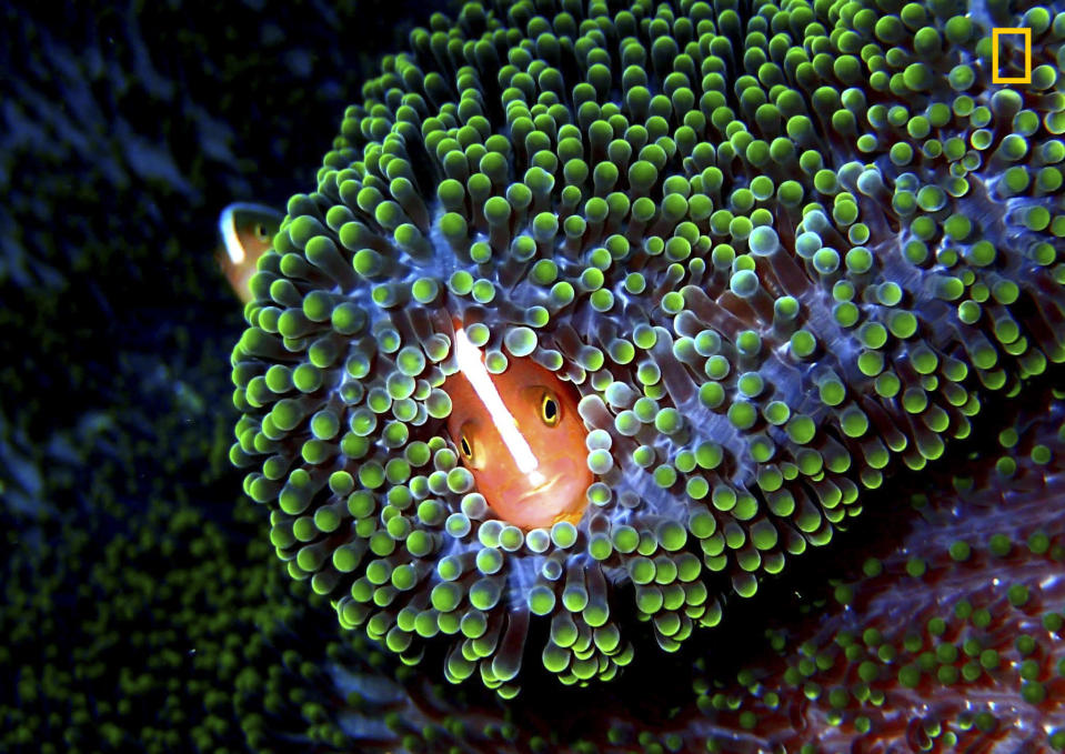 <p>Orange Anemonefish, (Amphiprion Sandaracinos) or most commonly referred to as ìNemoî is shot amongst this vibrant, iridescent and highly toxic anemone. This reef habitat was situated in the pristine waters of Sipadan Island, Sabah Borneo Malaysia. (Marc Hornig/National Geographic Nature Photographer of the Year contest) </p>