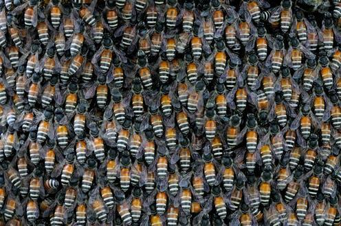 "<span class=""caption"">A swarm of giant Asian honey bees.</span> <span class=""attribution""><a class=""link rapid-noclick-resp"" href=""https://www.shutterstock.com/image-photo/close-on-giant-honey-bee-swarm-445789648"" rel=""nofollow noopener"" target=""_blank"" data-ylk=""slk:Rickythai/Shutterstock"">Rickythai/Shutterstock</a></span>"