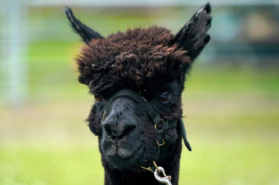 Geronimo the alpaca previously pictured at his farm near Wickwar (Andrew Matthews/PA) (PA Wire)