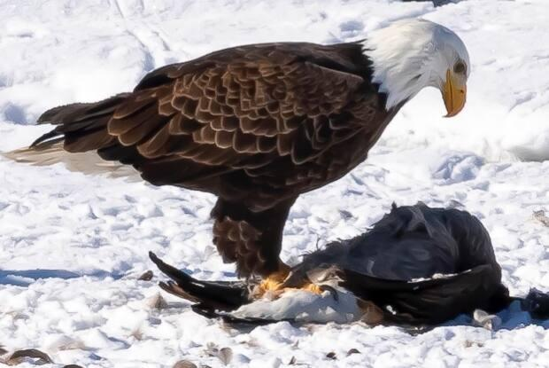 Photographer Ali Khafagi says he snapped this shot of a bald eagle after it attacked a goose in Carburn Park in southeast Calgary on Feb. 27, 2021.