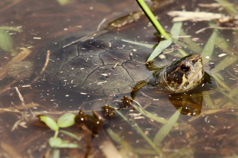A type of small turtle native to Mexico has been declared a new species (AFP Photo/ULISES RUIZ)