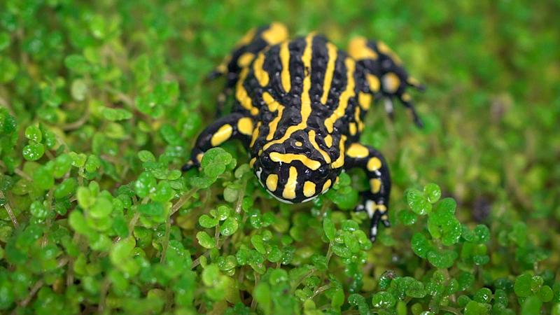 Much of the corroboree frog habitat was destroyed during the fires. Source: AAP Image/Melbourne Zoo