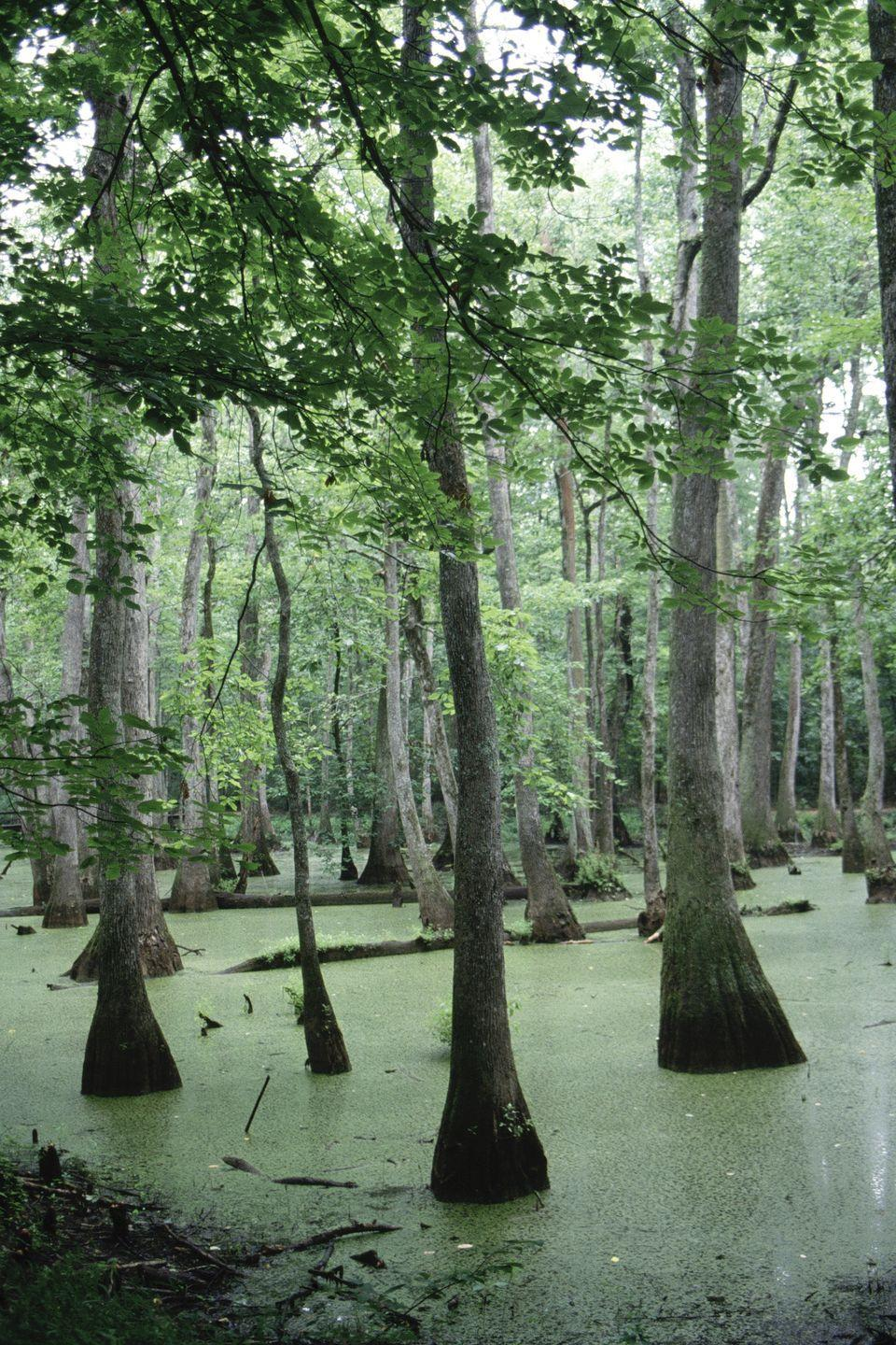 <p><strong>Where: </strong>Natchez Trace Cypress Swamp, Mississippi</p><p><strong>Why We Love It:</strong> The Natchez Trace Parkway is a beautiful drive in general, but be sure to make a pit stop at milepost 122 and walk the half-mile boardwalk trail through the water tupelo and bald cypress tree swamp. </p>
