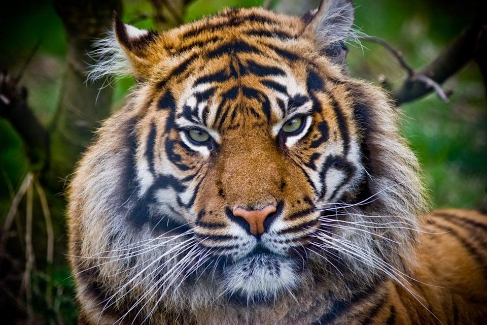 Sumatran tigers are severely threatened by poachers and deforestation of their habitat (Alamy/PA)