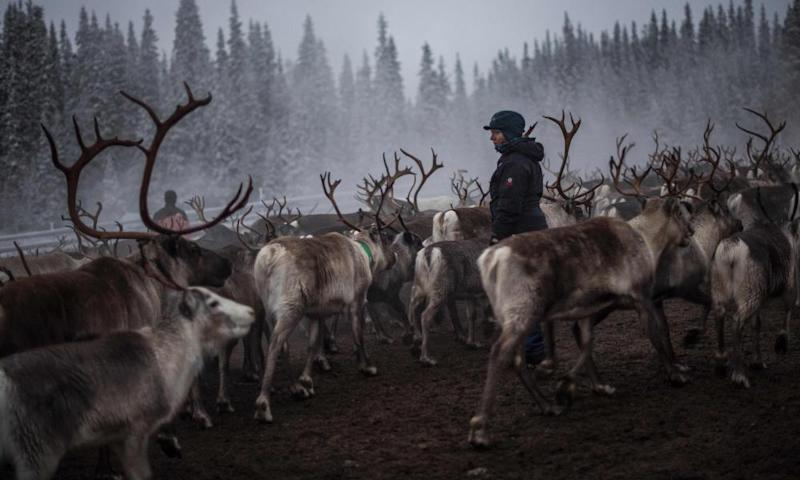 A Sami woman watching the reindeer.