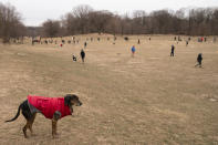 A dog surveys the scene from a hill while playmates and their owners roam Prospect Park's Long Meadow during off-leash hours, Sunday, Jan. 31, 2021, in the Brooklyn borough of New York. Go to any dog park right now and you'll probably find lively pandemic puppies, along with new owners learning the ins and outs of off-leash play. One of the silver linings of the pandemic is that many people are discovering the joys of dog ownership. (AP Photo/John Minchillo)