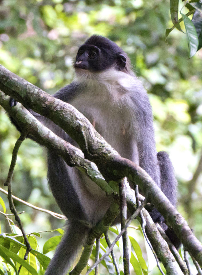 In this undated photo released by Ethical Expeditions, a Miller's Grizzled Langur sits on a tree branch in Wehea forest in eastern Borneo, Indonesia. Scientists working in the dense jungles of Borneo have rediscovered the large, gray monkey so rare it was believed by many to be extinct. (AP Photo/Ethical Expeditions, Eric Fell) MANDATORY CREDIT, NO SALES