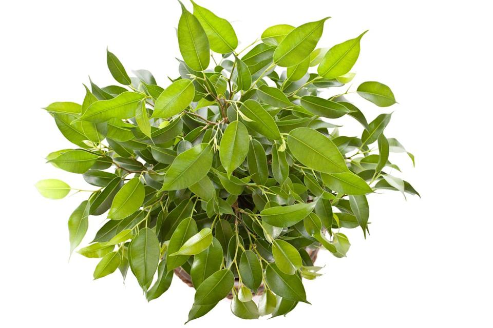 """<p>Don't cry for this elegant ficus: Its lush, shiny leaves scored high for removing toluene and octane in the Georgia study. The plant takes well to the indoors, but doesn't like to be moved, so find a good spot and let it settle in. </p><p><a class=""""link rapid-noclick-resp"""" href=""""https://www.amazon.com/Braided-Wintergreen-Weeping-Fig-Tree/dp/B00Y8JWKGG/?tag=syn-yahoo-20&ascsubtag=%5Bartid%7C2141.g.28325586%5Bsrc%7Cyahoo-us"""" rel=""""nofollow noopener"""" target=""""_blank"""" data-ylk=""""slk:SHOP WEEPING FIGS"""">SHOP WEEPING FIGS</a></p>"""