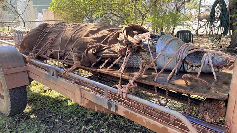 A 350kg male crocodile is tied to the back of a trailer in Katherine, Australia on Aug. 28, 2020. Wildlife rangers trapped the 4.4-metre saltwater crocodile at a tourist destination in the NT. Source:AP