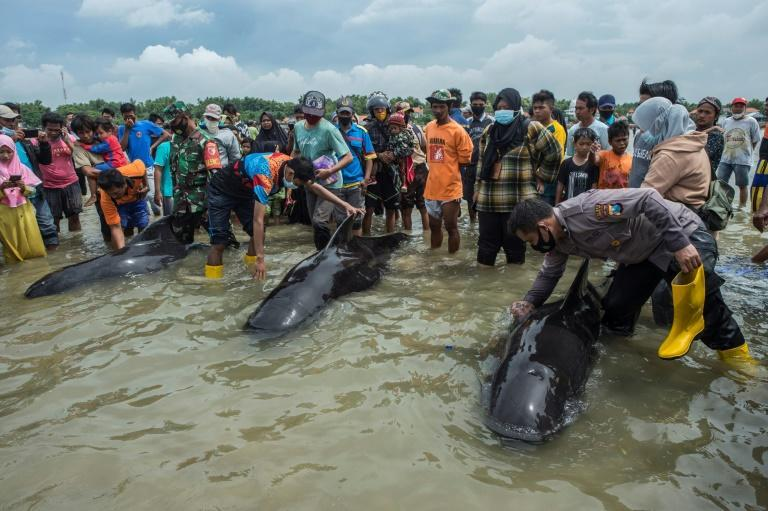 Large crowds gathered as rescuers tried to push the whales back out to sea, but in the end only three were saved